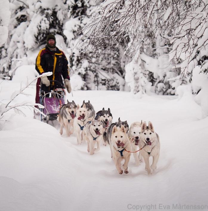 Каюр с упряжкой собак хаски. Фото