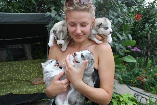 Щенки собаки породы сибирский хаски. Фото