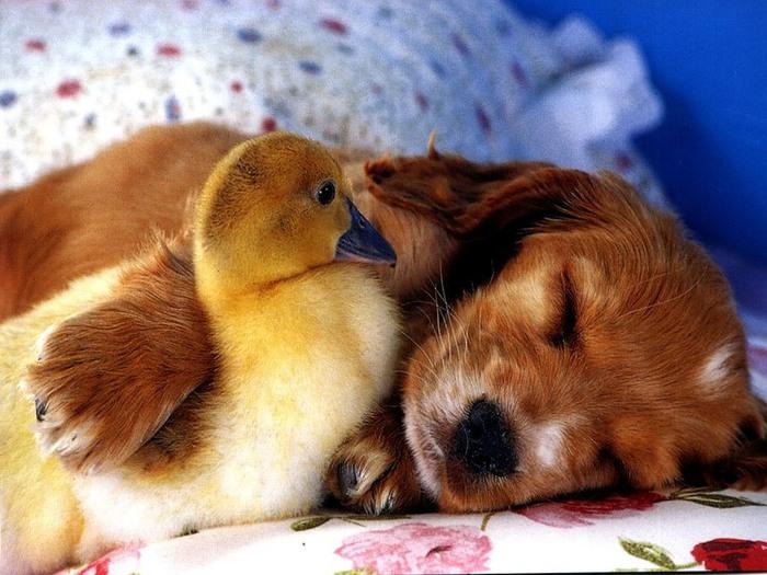 Дружба животных. Спящий щенок и утенок. Фото