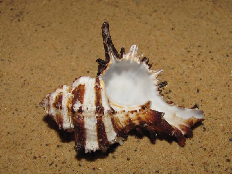 Красивая морская раковина необычной формы. Фото