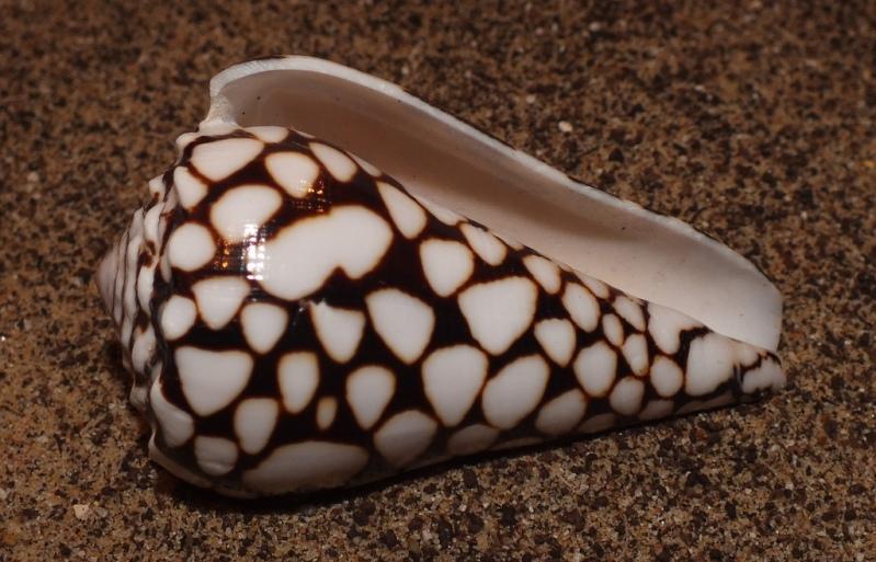 Красивая морская раковина. Фото