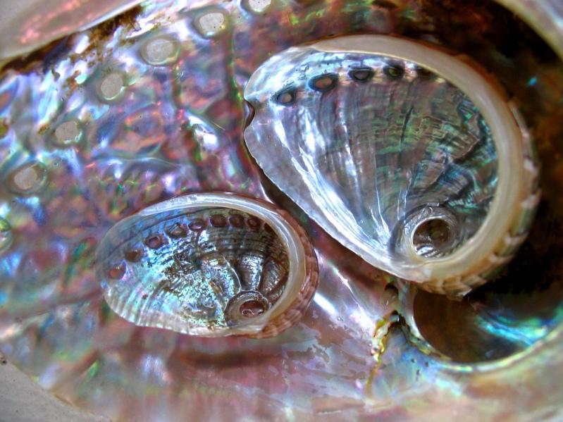 Красивые перламутровые ракушки. Фото