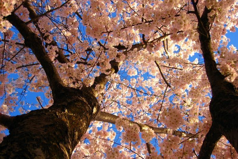 Цветущее дерево сакуры. Фото