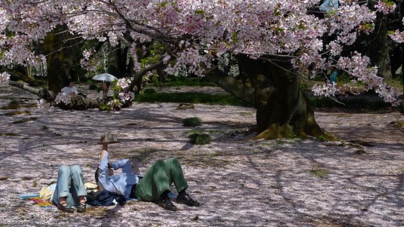 Цветение сакуры в Японии. Праздник ханами. Фото