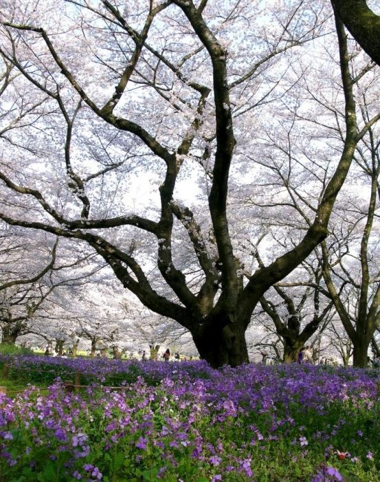 Дерево белой сакуры. Фото