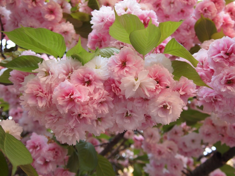 Японская розовая сакура крупным планом. Фото