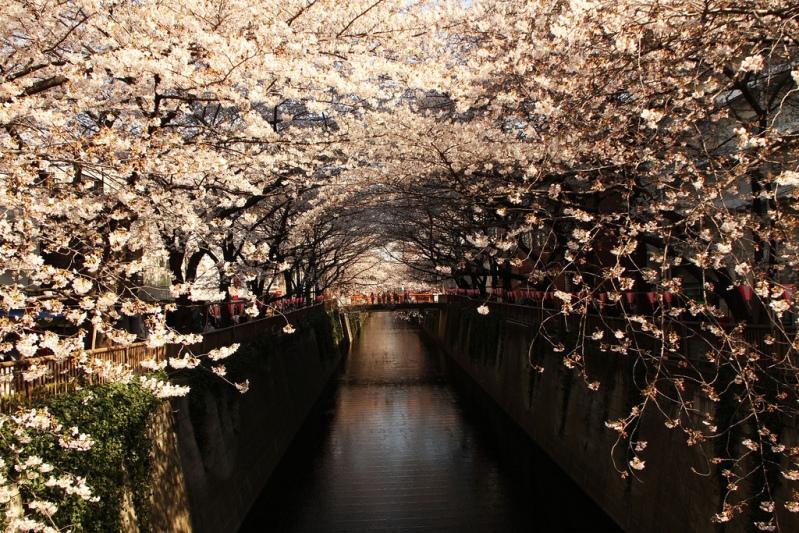 Цветущая белая сакура в японии фото