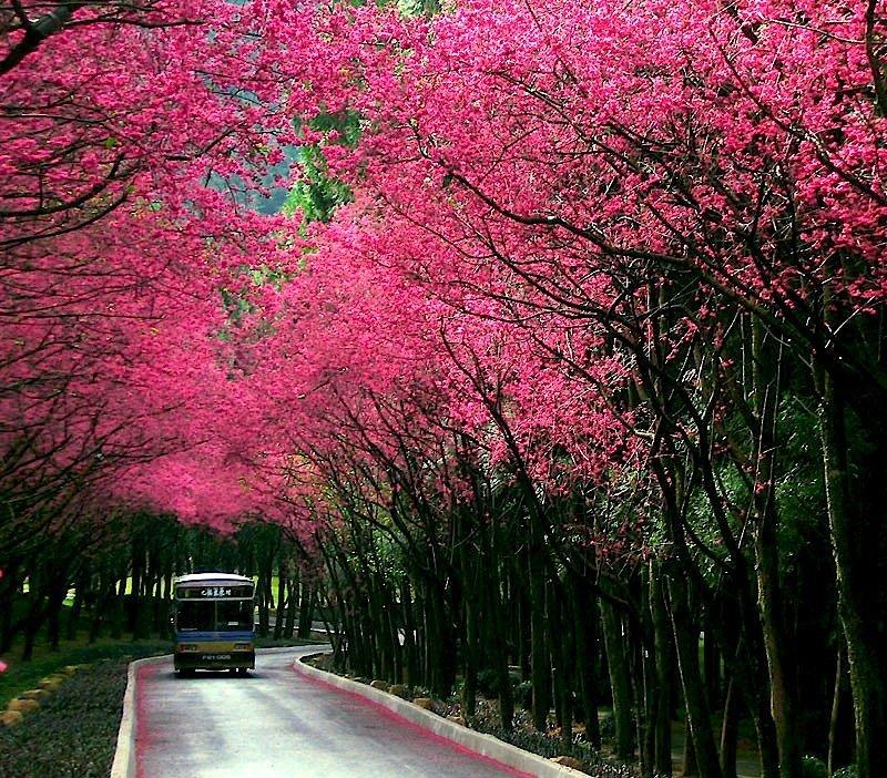 Аллея цветущих деревьев сакуры. Фото