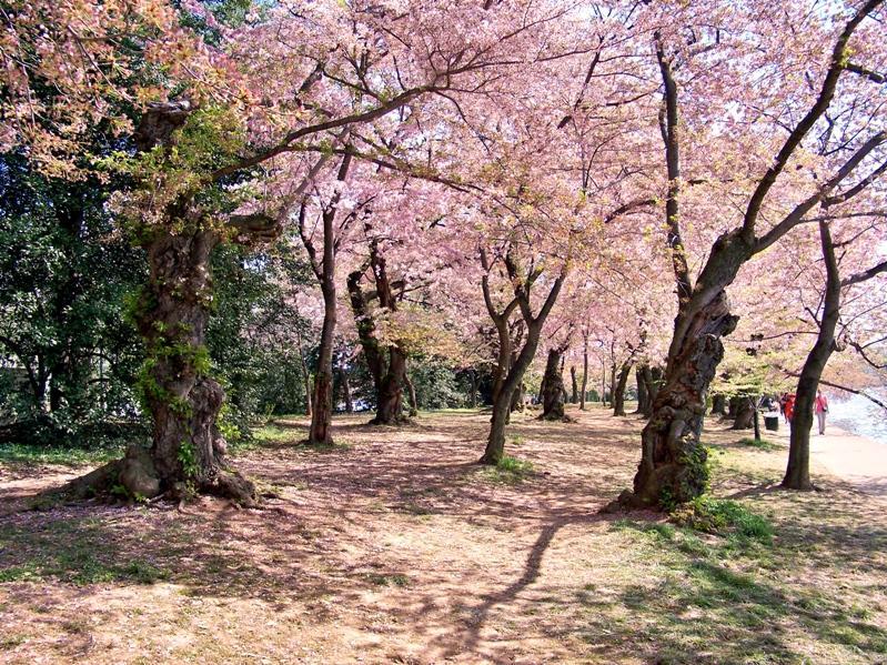 Деревья цветущей сакуры в Японии. Фото
