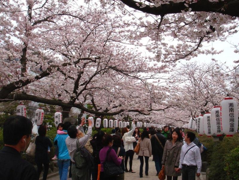 Празднование ханами в Японии. Фото