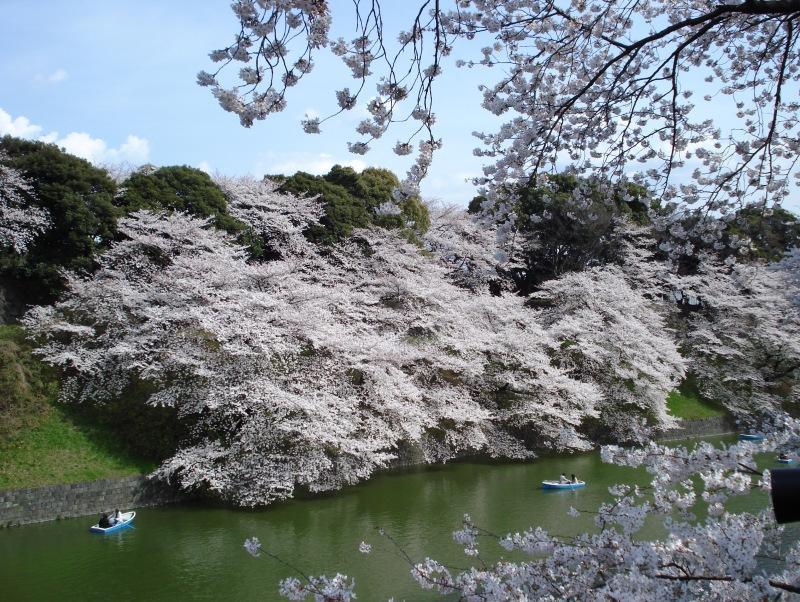 Катания на лодках во время цветения сакуры. Праздник ханами. Фото