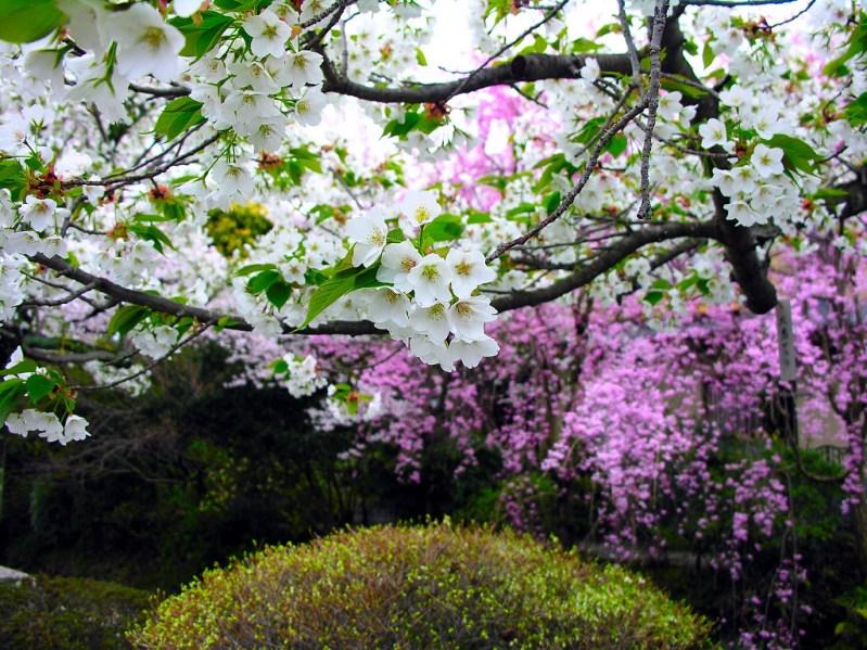 Ветка цветущей сакуры. Фото