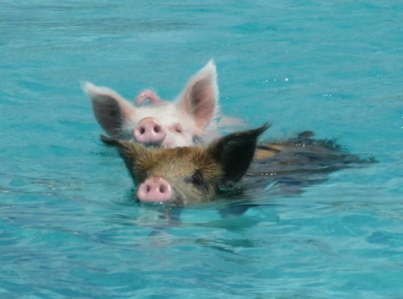 Плывущие свиньи у острова Биг Мэйджор Кэй. Фото