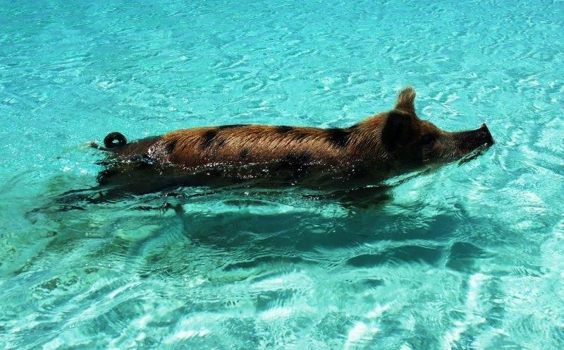 Свинка плывет в прозрачной воде. Багамы. Фото