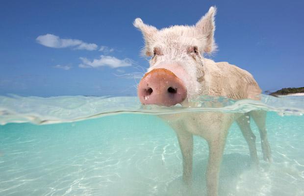 Свинья в воде. Багамы. Фото