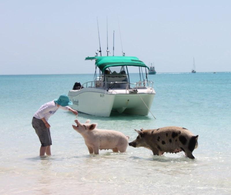 Свиньи на берегу острова Биг Мэйджор Кэй. Багамы. Фото