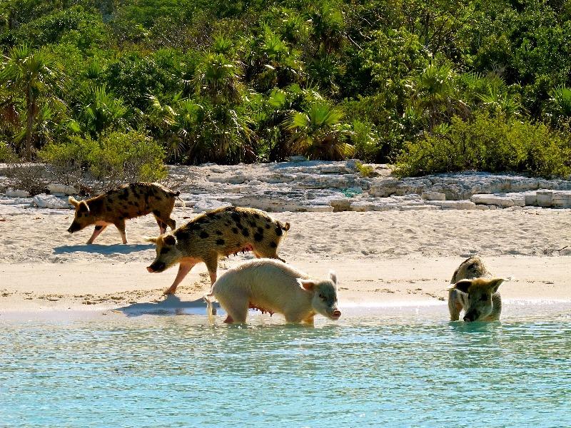 Плавающие свиньи на Багамах. Фото