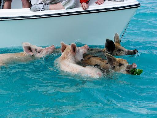 Свиньи плавают возле яхты у Багамских островов. Фото