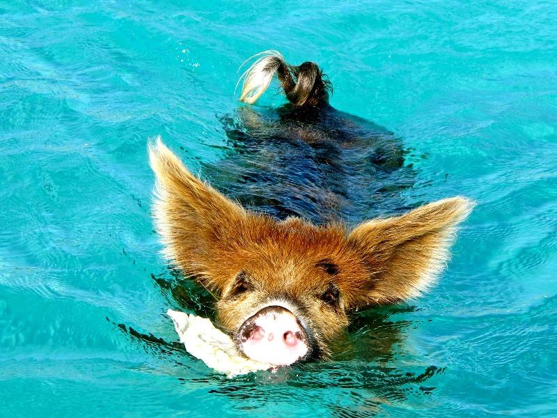 Свинья плывет с едой. Фото