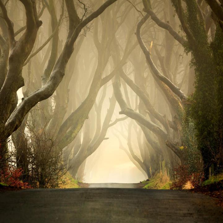 Таинственный лес в тумане. аллеи буков в Ирландии