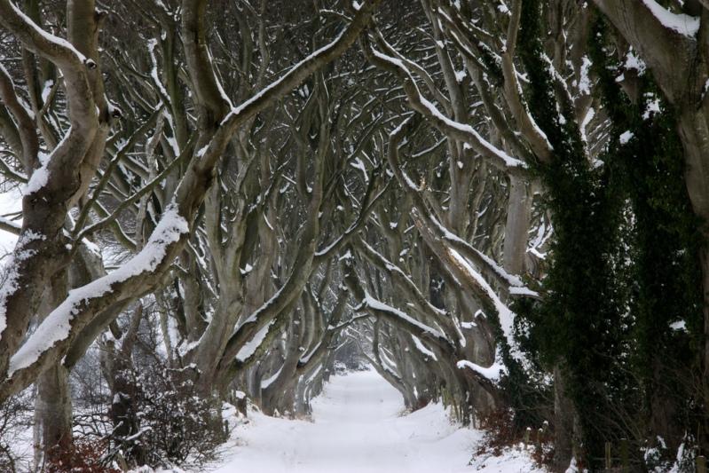 Сказочный лес или буковая аллея зимой.
