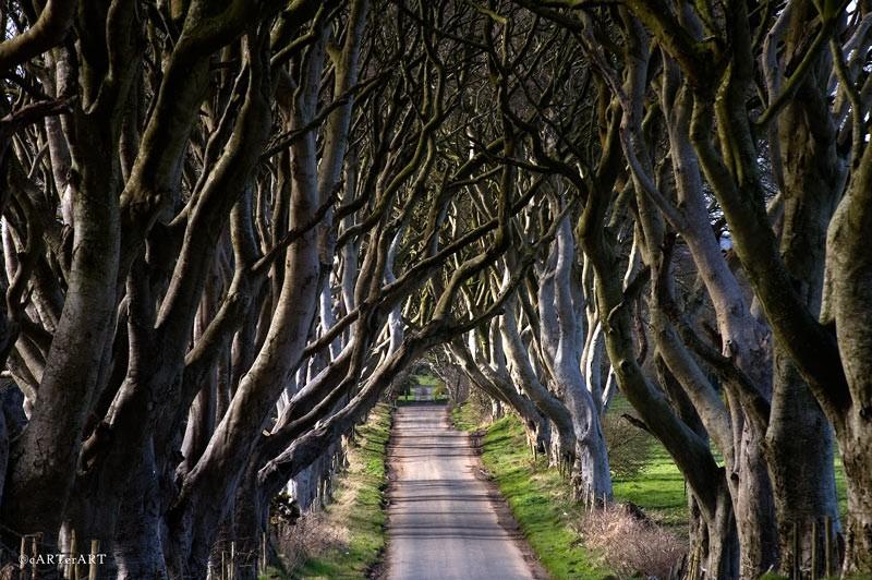 Сказочный лес, или Темная аллея в Ирландии.