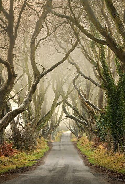 Буковая аллея в тумане. Северная Ирландия.