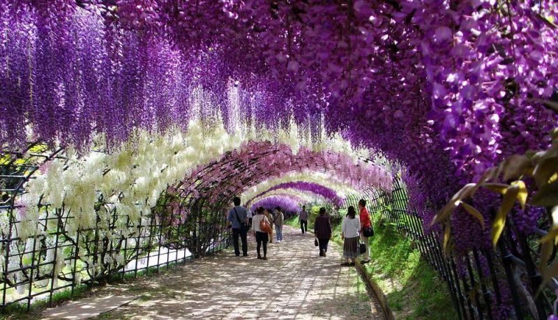 http://udivitelno.com/images/4/tonnel-glicinij-v-japonskom-sadu-kavati-fudzi/1-Kawachi%20Fuji%20Garden.jpg