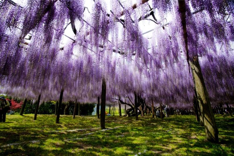 Японском сад цветов Кавати Фудзи в мае. Фото