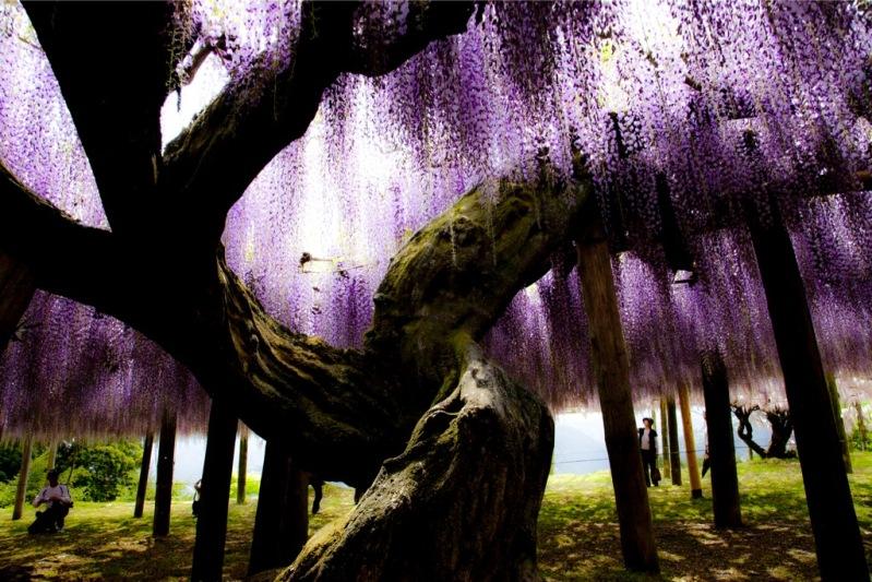 Майские глицинии в японском саду цветов Кавати Фудзи. Фото