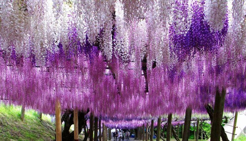 Разноцветные глицинии в японском саду цветов Кавати Фудзи. Фото
