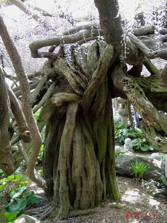 Необычное старое дерево в японском саду цветов Кавати Фудзи. Фото