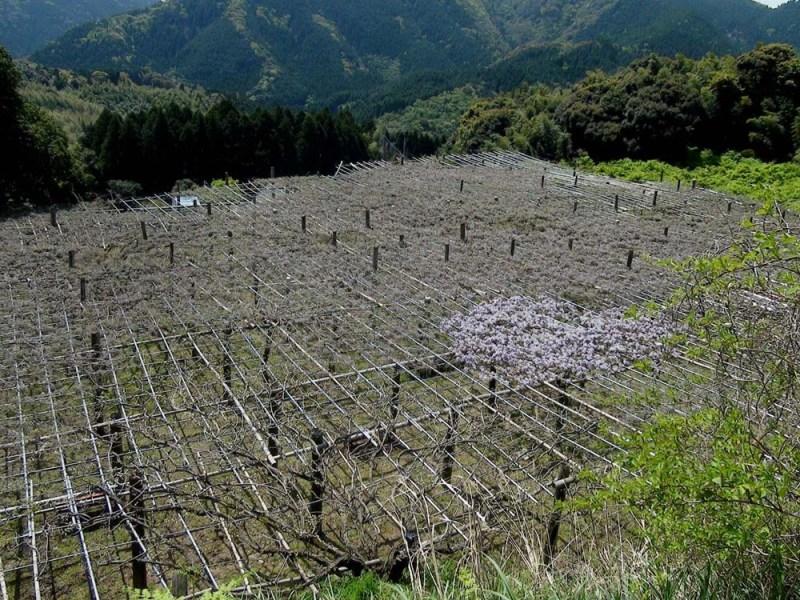 Чудеса природы 16-Kawachi%20Fuji%20Garden