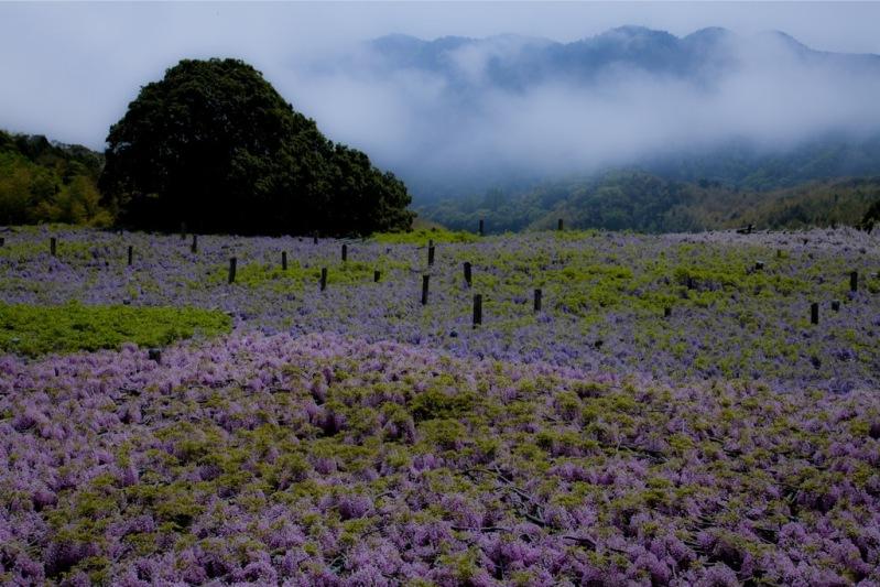 Каркасы для глициний в японском саду цветов Кавати Фудзи. Фото