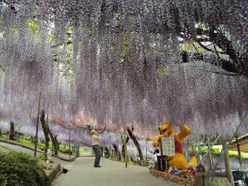 Свисающие глицинии в японском парке цветов Кавати Фудзи. Фото