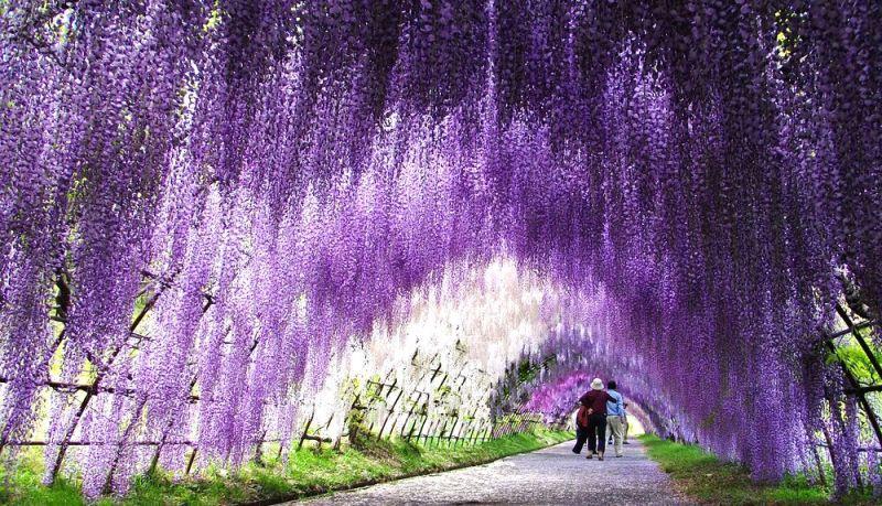 Тоннель Вистерия в японском саду цветов Кавати Фудзи. Фото