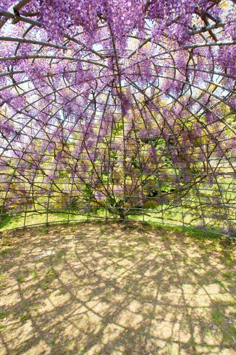 Каркас для глициний в японском саду цветов Кавати Фудзи. Фото