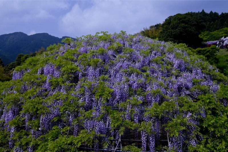 Шарообразный каркас для глициний в японском саду цветов Кавати Фудзи. Фото