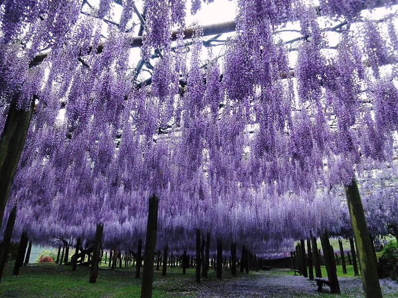 Свисающие вистерии в японском саду цветов Кавати Фудзи. Фото