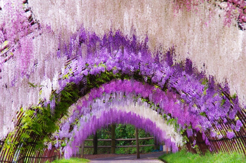 An Amazing Walk Through the Wisteria Flower Tunnel Of Japan.