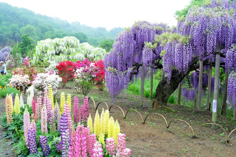 Thank you very much for your visit.  Wisteria Tunnel, Japan.