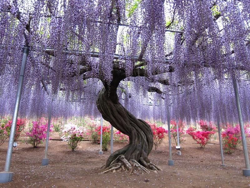 Тоннель глициний в японском саду цветов Кавати Фудзи. Фото