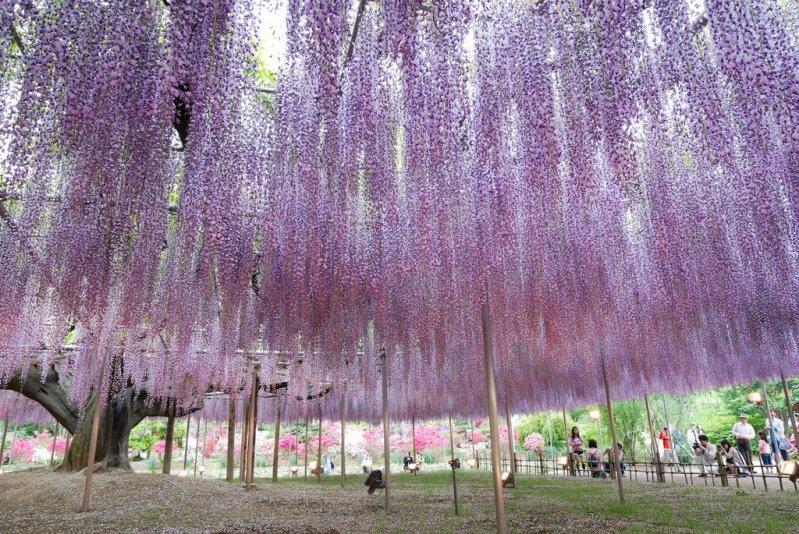 Глицинии в японском парке цветов Кавати Фудзи. Фото
