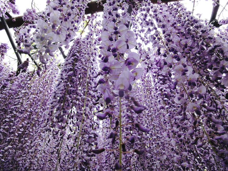 Вистерим в японском парке цветов Кавати Фудзи. Фото
