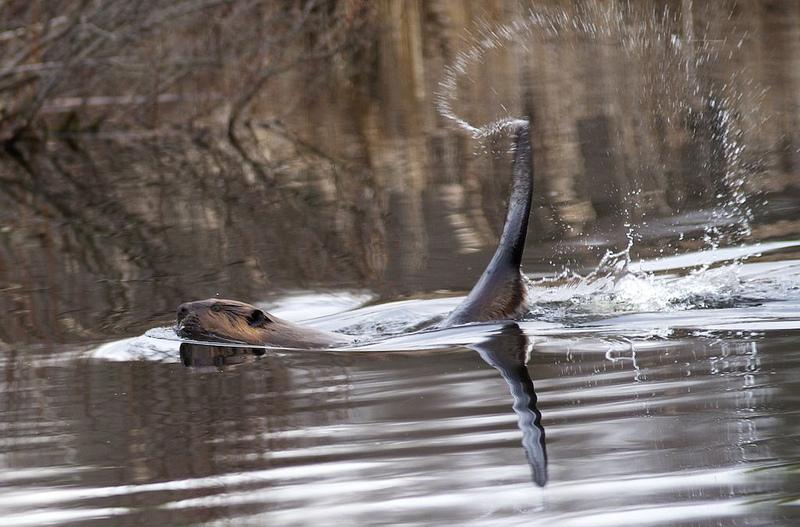 Бобр бьет хвостом по воде, давая сородичам сигнал об опасности. Фото
