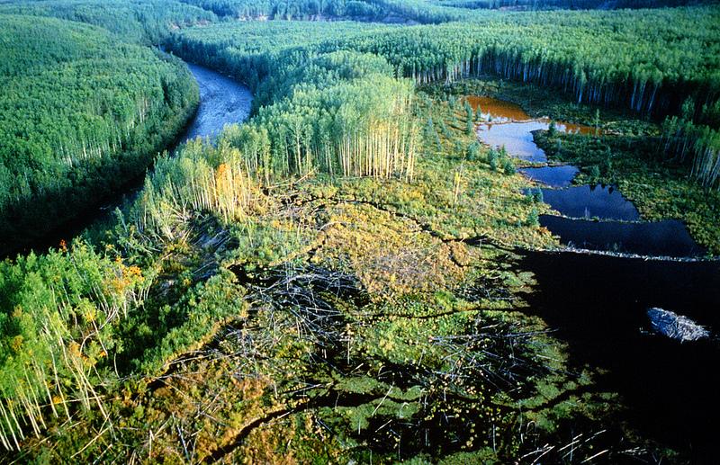 Территория, благоустроенная бобрами: на фотографии видны борбровые плотины и хатка