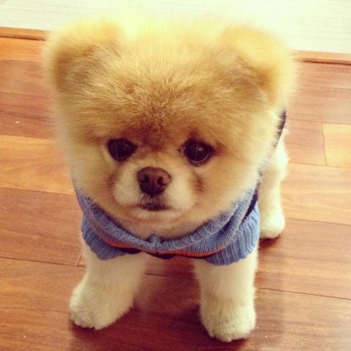 Порода собак шпиц