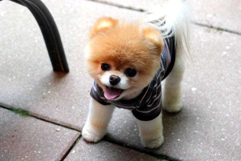 Новые фото знаменитой собаки Бу породы