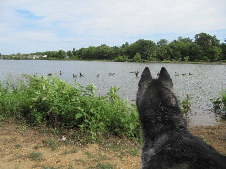 Говорящая собака Мишка породы сибирский хаски. Фото на озере