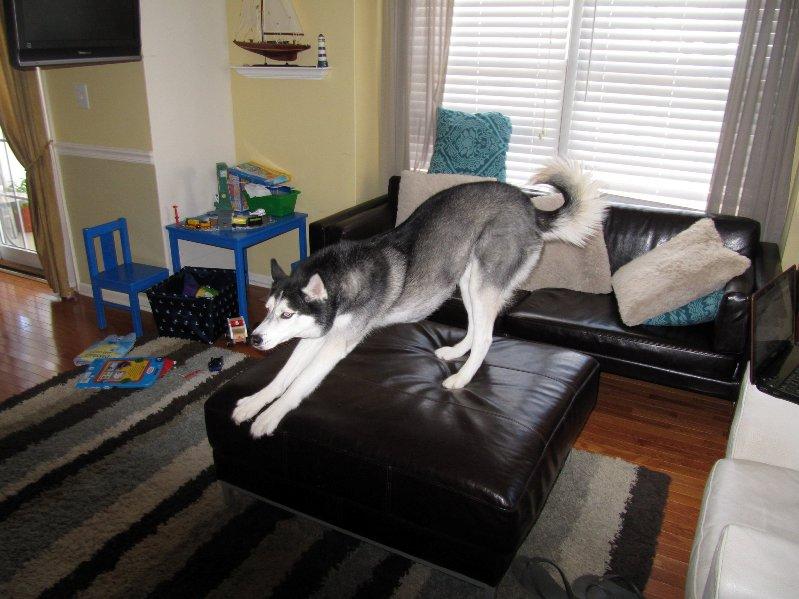Говорящая собака Мишка потягивается. Фото